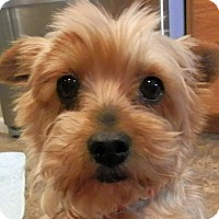 Adopt A Pet :: Daisy - Chesterfield, MO