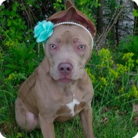 Adopt A Pet :: Pierogie - Youngstown, OH