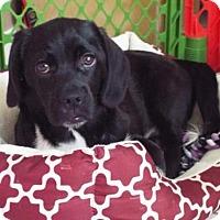 Adopt A Pet :: Hansel - Royal Palm Beach, FL