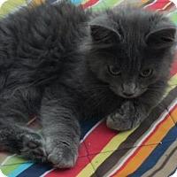 Adopt A Pet :: Fozzie Cat - Fort Collins, CO