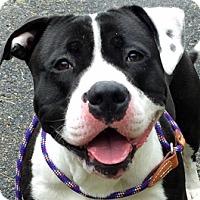 Adopt A Pet :: Bongo - Framingham, MA