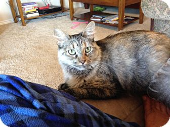 Maine Coon Cat for adoption in Plano, Texas - MYA - MAINE COON SWEETIE