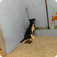 Labrador Retriever/Retriever (Unknown Type) Mix Puppy for adoption in San Bernardino, California - URGENT ON 10/8  San Bernardino