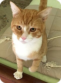 American Shorthair Cat for adoption in Charlotte, North Carolina - Orange sergius
