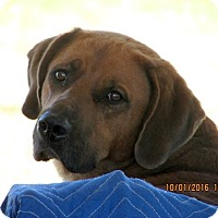 Newfoundland/Bloodhound Mix Dog for adoption in Melbourne, Arkansas - Merlin