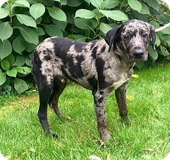 Catahoula Leopard Dog Mix Puppy for adoption in Norwalk, Connecticut - Vernon