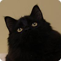 Domestic Longhair Kitten for adoption in Monroe, Michigan - Cola