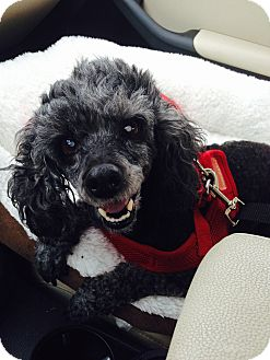 Poodle (Miniature) Dog for adoption in Madison, Wisconsin - Nahla:Gentle Girl! (NJ)