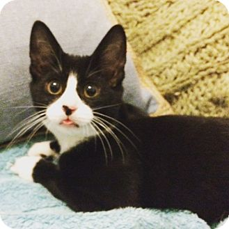 Domestic Shorthair Cat for adoption in New York, New York - Jesse