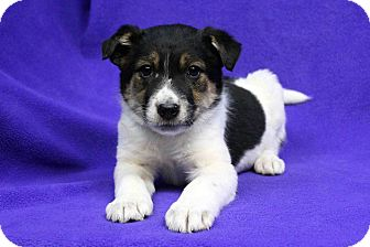 Shepherd (Unknown Type)/Blue Heeler Mix Puppy for adoption in Westminster, Colorado - BETTINA