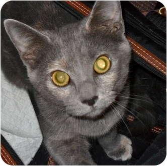 Two Russian Blues: Covedale | Adopted Kitten | Cincinnati ...