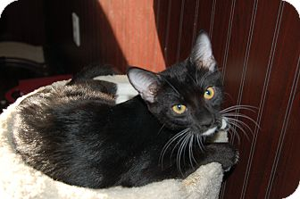 Domestic Shorthair Kitten for adoption in Chandler, Arizona - Boots