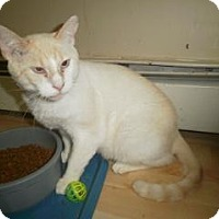 Adopt A Pet :: Snowy - Windsor, CT