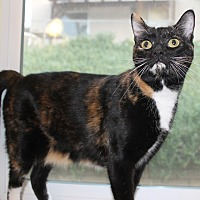 Domestic Shorthair Cat for adoption in Santa Clarita, California - Paris