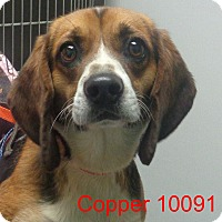 Adopt A Pet :: Copper - baltimore, MD