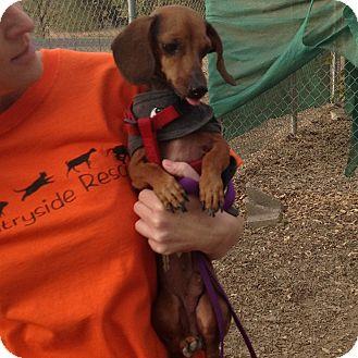 Dachshund Dog for adoption in Santa Rosa, California - Frankie