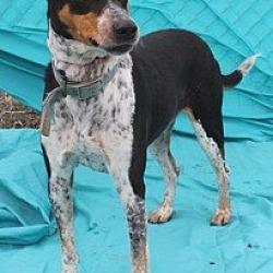 Photo 2 - Catahoula Leopard Dog/Hound (Unknown Type) Mix Dog for adoption in New Roads, Louisiana - Big Chloe