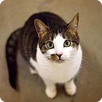 Domestic Shorthair Cat for adoption in Omaha, Nebraska - Ponca
