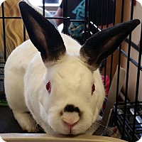 Mini Rex for adoption in McDonough, Georgia - Tarrant
