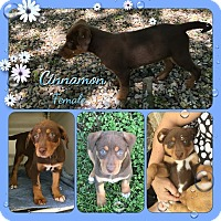 Adopt A Pet :: Cinnamon Adoption pending - Manchester, CT