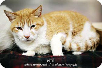 Domestic Shorthair Cat for adoption in Appleton, Wisconsin - Petie