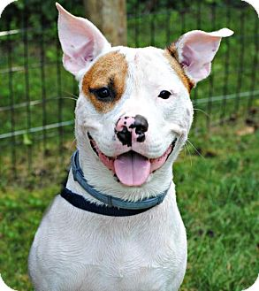 Pit Bull Terrier Mix Dog for adoption in Spring Lake, New Jersey - Simba