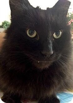 Himalayan Cat for adoption in Brooklyn, New York - Cody, a Himalayan Gentleman Needs New Home ASAP