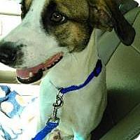 Adopt A Pet :: Bogart - New Smyrna Beach, FL