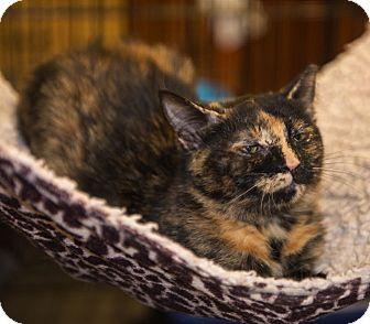 Domestic Shorthair Kitten for adoption in Mooresville, North Carolina - A..  Tori