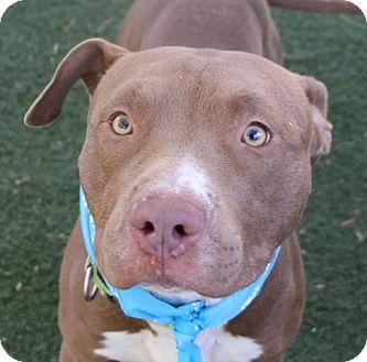 Pit Bull Terrier Dog for adoption in Las Vegas, Nevada - *HAMMER