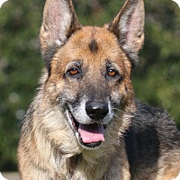 German Shepherd Dog Dog for adoption in Nashville, Tennessee - Schatten