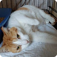Domestic Shorthair Cat for adoption in Middletown, New York - Claudia