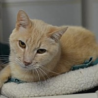Domestic Shorthair Cat for adoption in Atlanta, Georgia - Duncan	161317