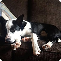Adopt A Pet :: Bentley - St. Catharines, ON