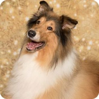 Collie Dog for adoption in Dublin, Ohio - MOSES