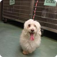 Adopt A Pet :: Scraggle Muffin - Raleigh, NC