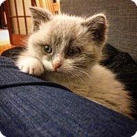 Adopt A Pet :: Mercure - Montreal, QC