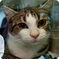 Domestic Shorthair Kitten for adoption in Gloucester, Virginia - BUGSY