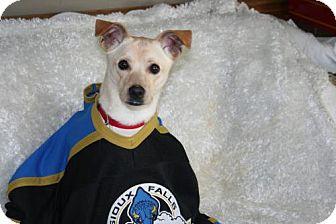 Labrador Retriever/Chihuahua Mix Dog for adoption in Sioux Falls, South Dakota - Archie