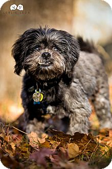 Shih Tzu/Terrier (Unknown Type, Small) Mix Dog for adoption in Verona, New Jersey - Rocky
