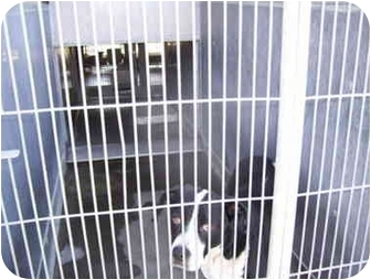 Labrador Retriever/Bernese Mountain Dog Mix Dog for adoption in Marina del Rey, California - KP