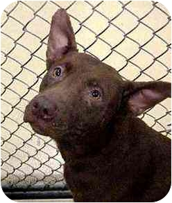 American Pit Bull Terrier Dog for adoption in Emory, Texas - Maybelline