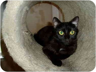 Domestic Shorthair Cat for adoption in Little Rock, Arkansas - Lil' Missy