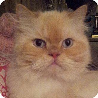 Himalayan Cat for adoption in Columbus, Ohio - Montana