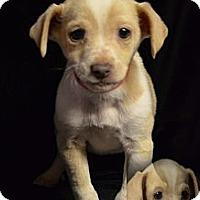 Adopt A Pet :: JASMINE - Spring Valley, NY