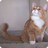 Adopt A Pet :: K-Talia5-Creamsicle - Colorado Springs, CO