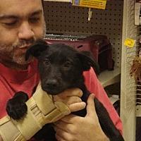 German Shepherd Dog/Labrador Retriever Mix Puppy for adoption in Tonopah, Arizona - SAMMY