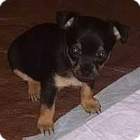 Adopt A Pet :: Pebbles - Columbus, OH
