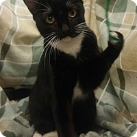 Domestic Shorthair Cat for adoption in Baton Rouge, Louisiana - Calypso