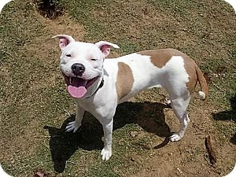 Pit Bull Terrier Mix Dog for adoption in Coppell, Texas - Roxie Heart